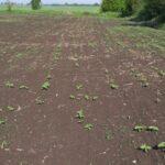 Disperarea fermierilor! Iepurii și tanymecus au distrus cultura de floarea soarelui în zona Nădlac, județul Arad