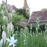 Tuberoza de Hoghilag, prima floare din România protejată la nivel european ~ InfoPrut